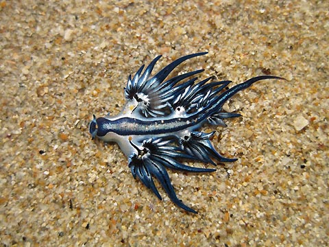 Glaucus Atlanticus The Blue Angel: Glaucu...