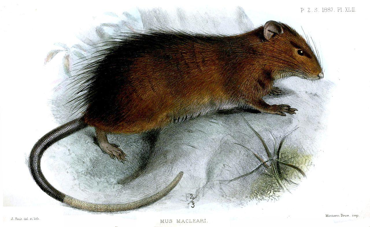 Mus Macleari - Christmas Island Rat