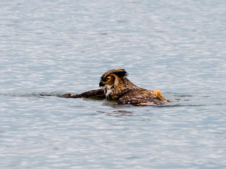 Owl Swimming 2
