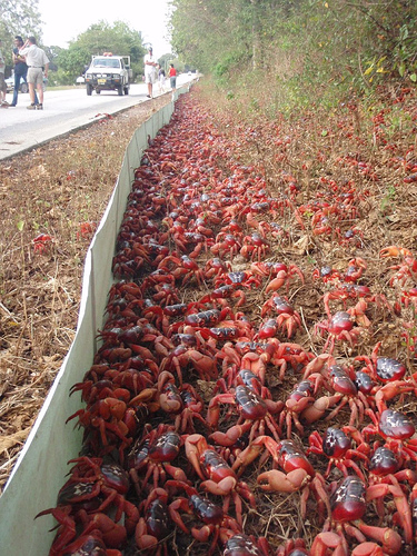 Red Crab Wall Christmas Island