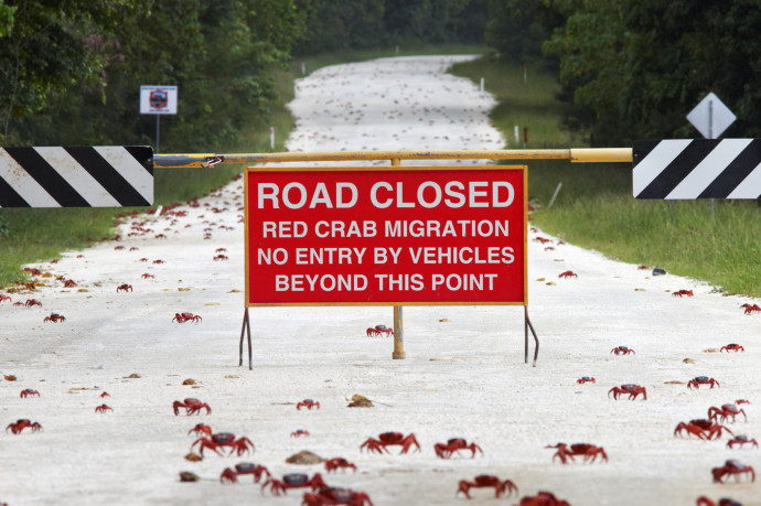 Christmas Island Red Crab (Gecarcoidea natalis) mass crossing closed road during annual migration, Christmas Island, Indian Ocean, Territory of Australia