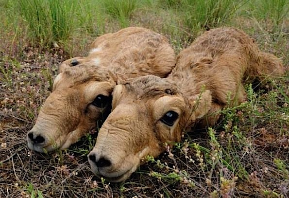 Saiga Antelope - Chinese Medicine -dead bodies