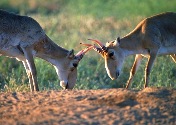 Saiga Antelope - Fighting