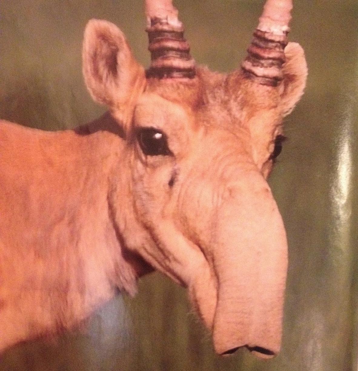 Saiga Antelope - endangered