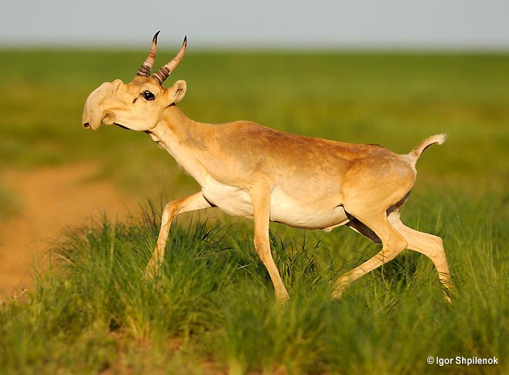 Saiga Antelope - running