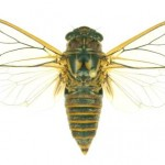 Clanger Cicada - anti-bacterial