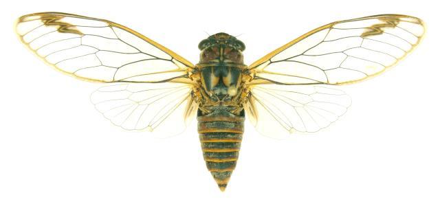 Clanger Cicada - anti-bacterial