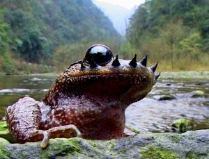 Emei moustache toad 2