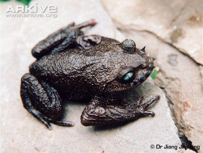 Emei moustache toad - above