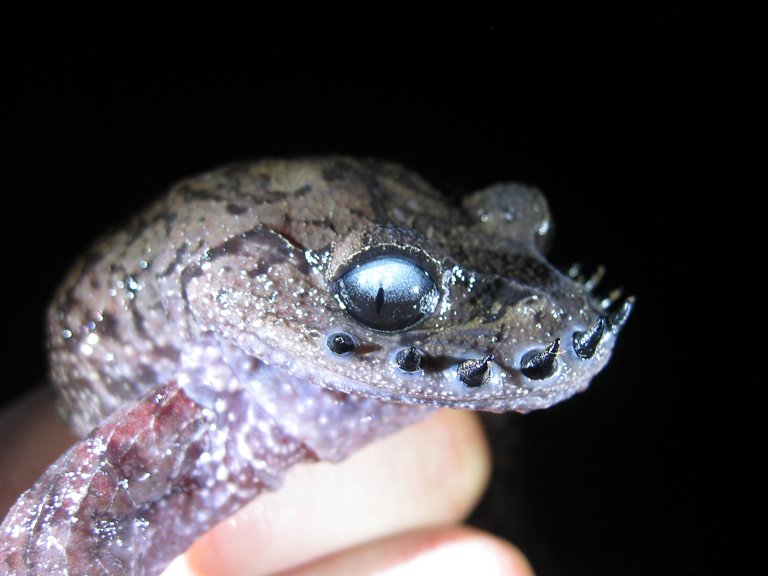 Emei moustache toad - endangered