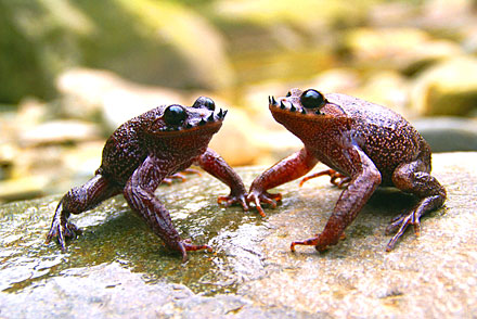 Enei Moustache Toad - pair of males