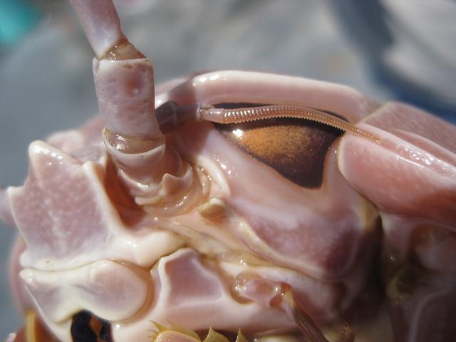Giant Isopod - Bathynomus giganteus compound eyes