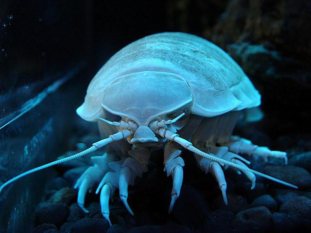 Giant Isopod - Bathynomus giganteus