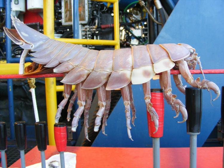 Giant Isopod - science experiment