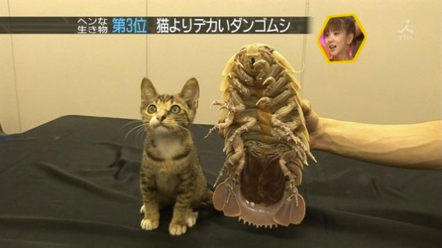 Giant Isopod - with cat