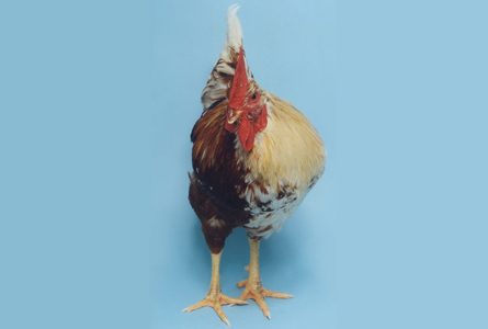 Gynandromorph - Chicken