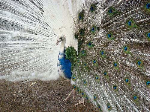 Gynandromorph - Peacock