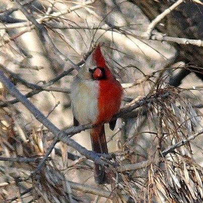 Gynandromorph - Red Cardinal