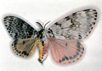 Gynandromorph - Rosy Gypsy Moth