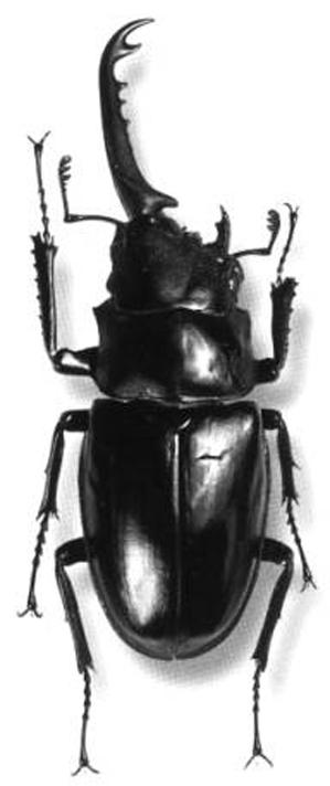 Gynandromorph - Stag Beetle