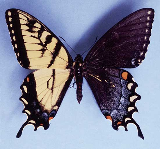 Gynandromorph - Swallow Tail Butterfly