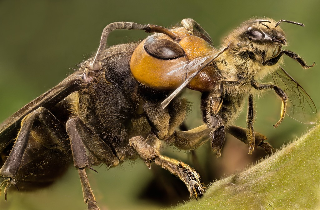 Japanese Giant Hornet - killing bee
