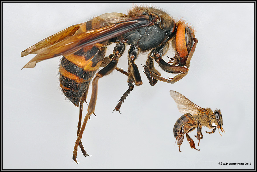 Japanese Giant Hornet vs Africanized Honey Bee
