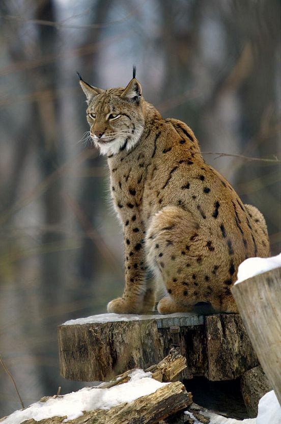 Albania - Lake Prespa Balkan Lynx