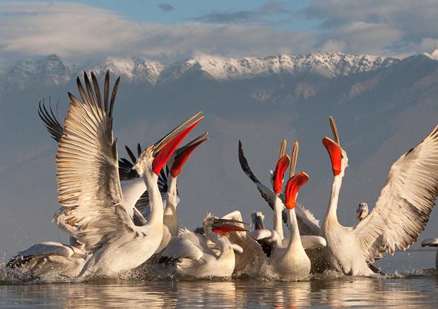 Albania - Lake Prespa Dalmatian Pelican Pelecanus crispus