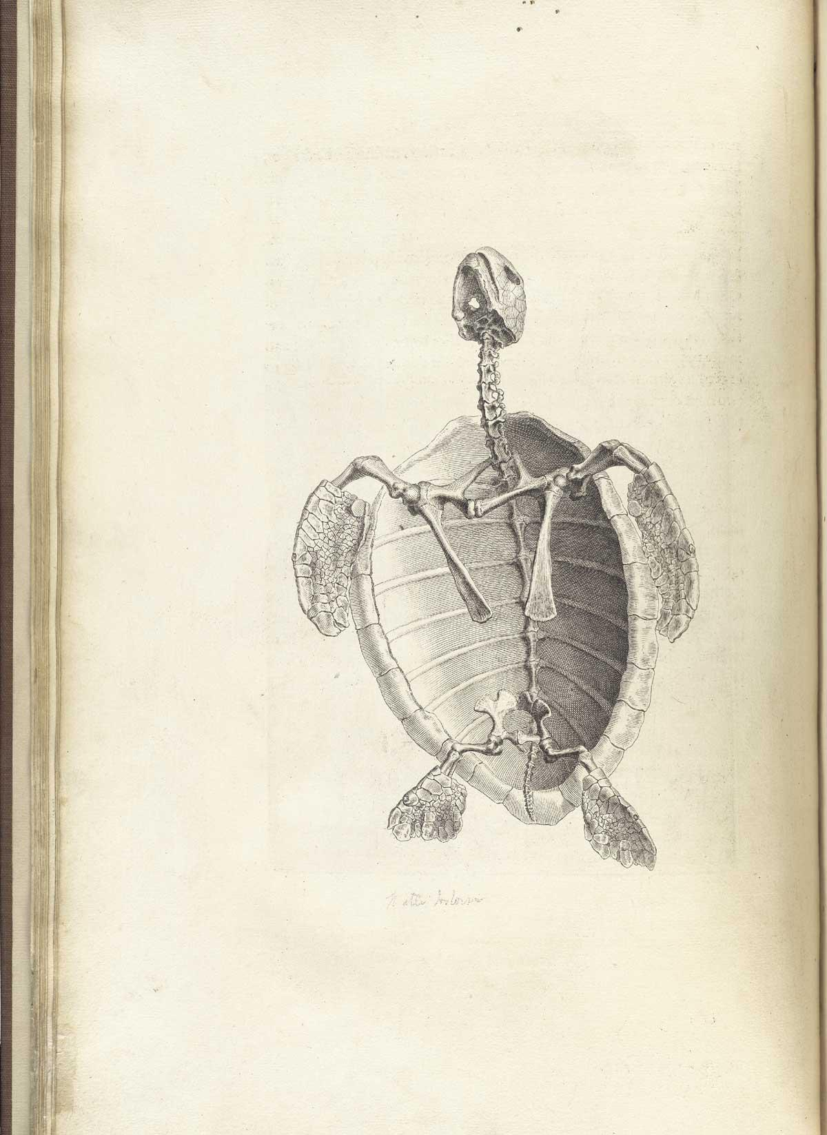 Cheselden - Ostographia - water tortoise