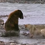 1 Grizzly Bear Vs 4 Wolves