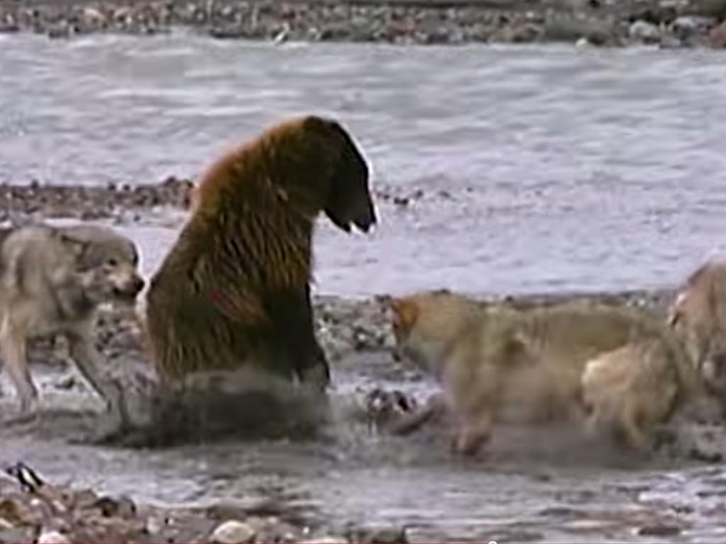 Wolf Vs Bear - carcass