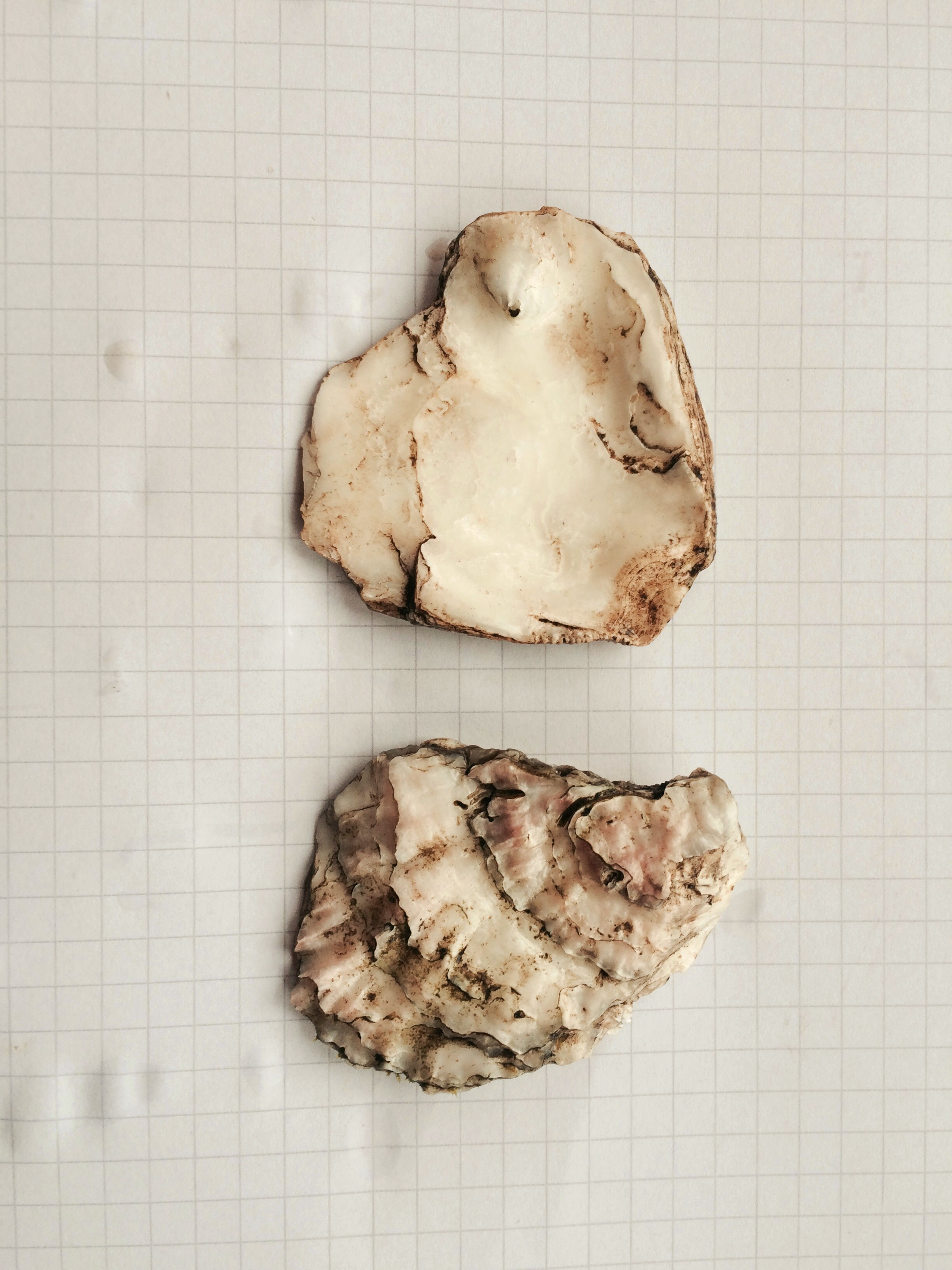 Oyster Shells Found At Chanctonbury Ring (April 2015)