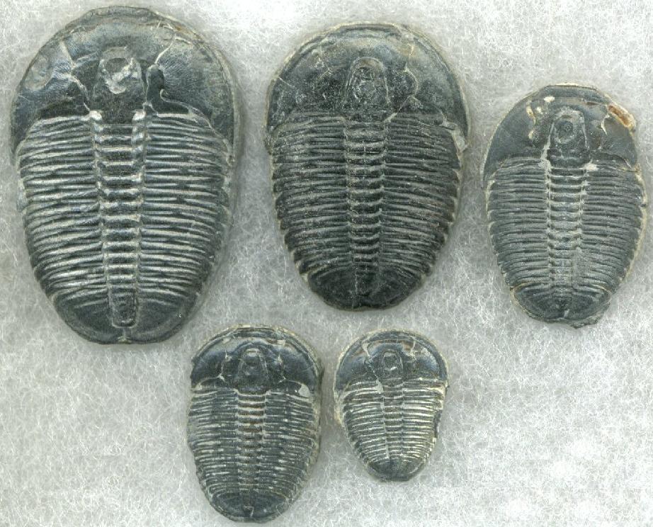 Cambrian Era Fossils - Trilobites