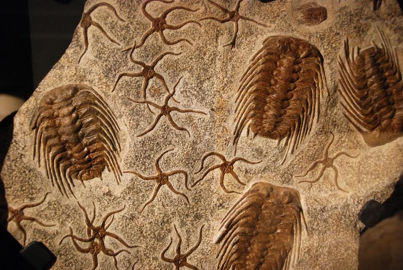 Ordovician - Brittle Stars and Trilobites