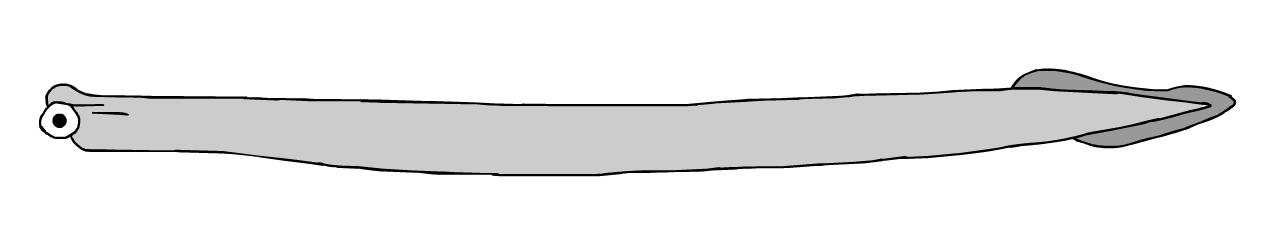 conodont