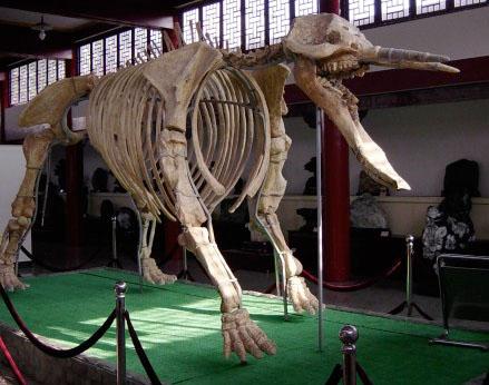 Platybeladon Skeleton China