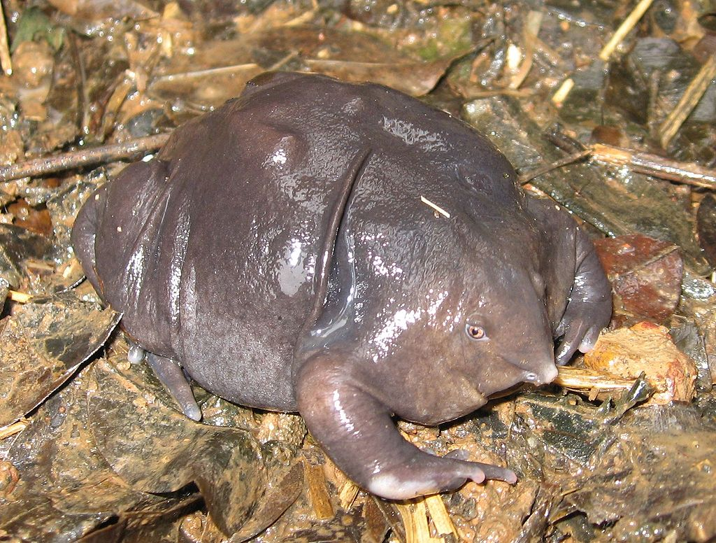 Purple Frog India - Weirdest Animal