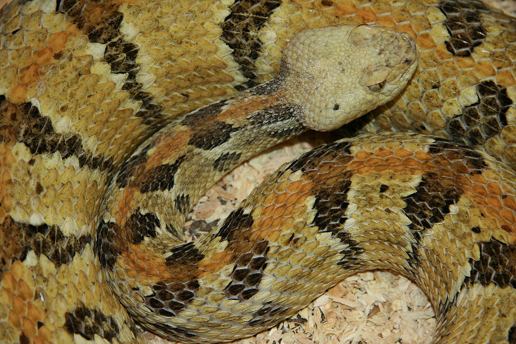 The Great Dismal Swamp - Canebrake Rattlesnake