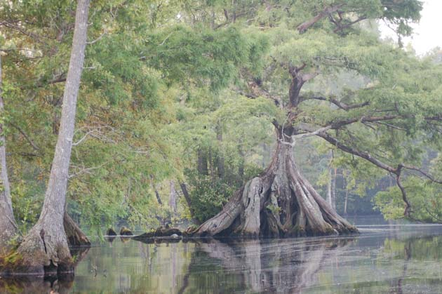 The Great Dismal Swamp - Trees Sumberged America