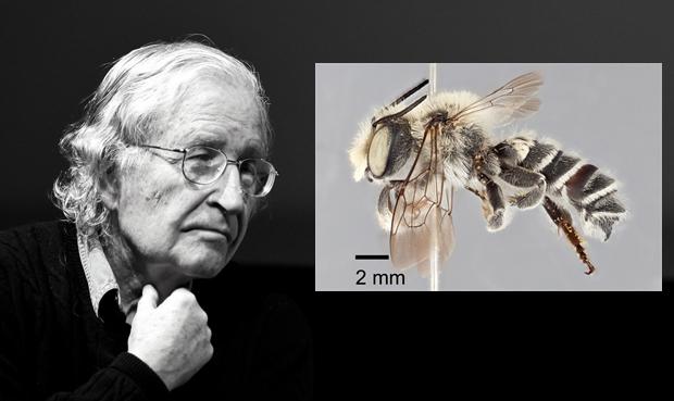 Animal Named After Famous People - Noam Chomsky Megachile chomskyi