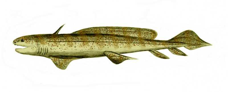 Carboniferous Life - Xenacanthida Shark