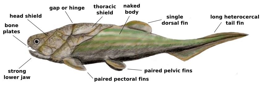 Devonian Life - placoderm Coccosteus decipiens