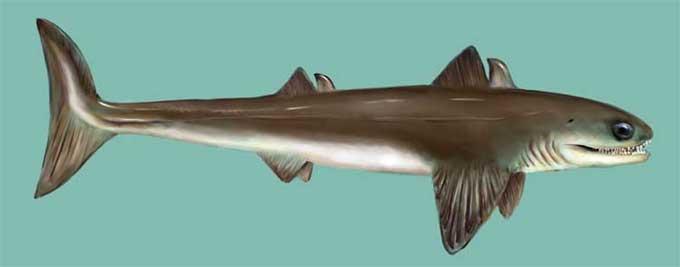 Devonian Life - Cladoselache