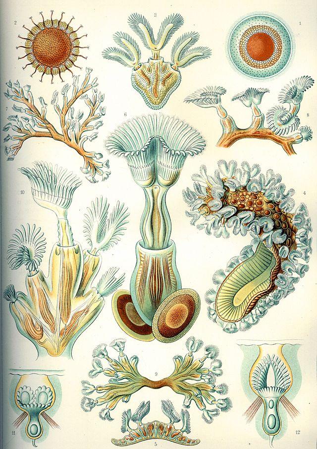 Devonian Life - bryozoa - Ernst Haeckel