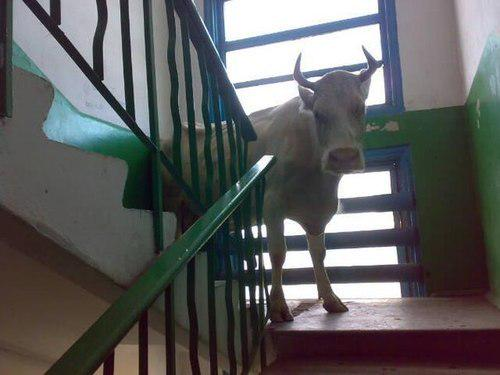 Awesome Photos Russia With Love - Cow Upstairs
