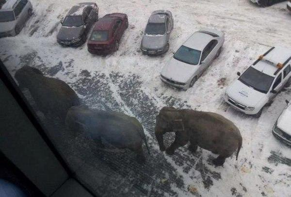 Awesome Photos Russia With Love - Elephants In The Snow