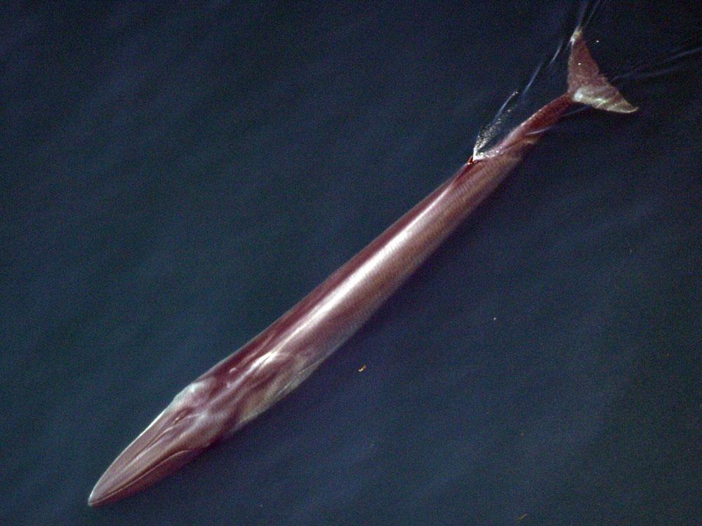 Fin Whale - Aerial View 2