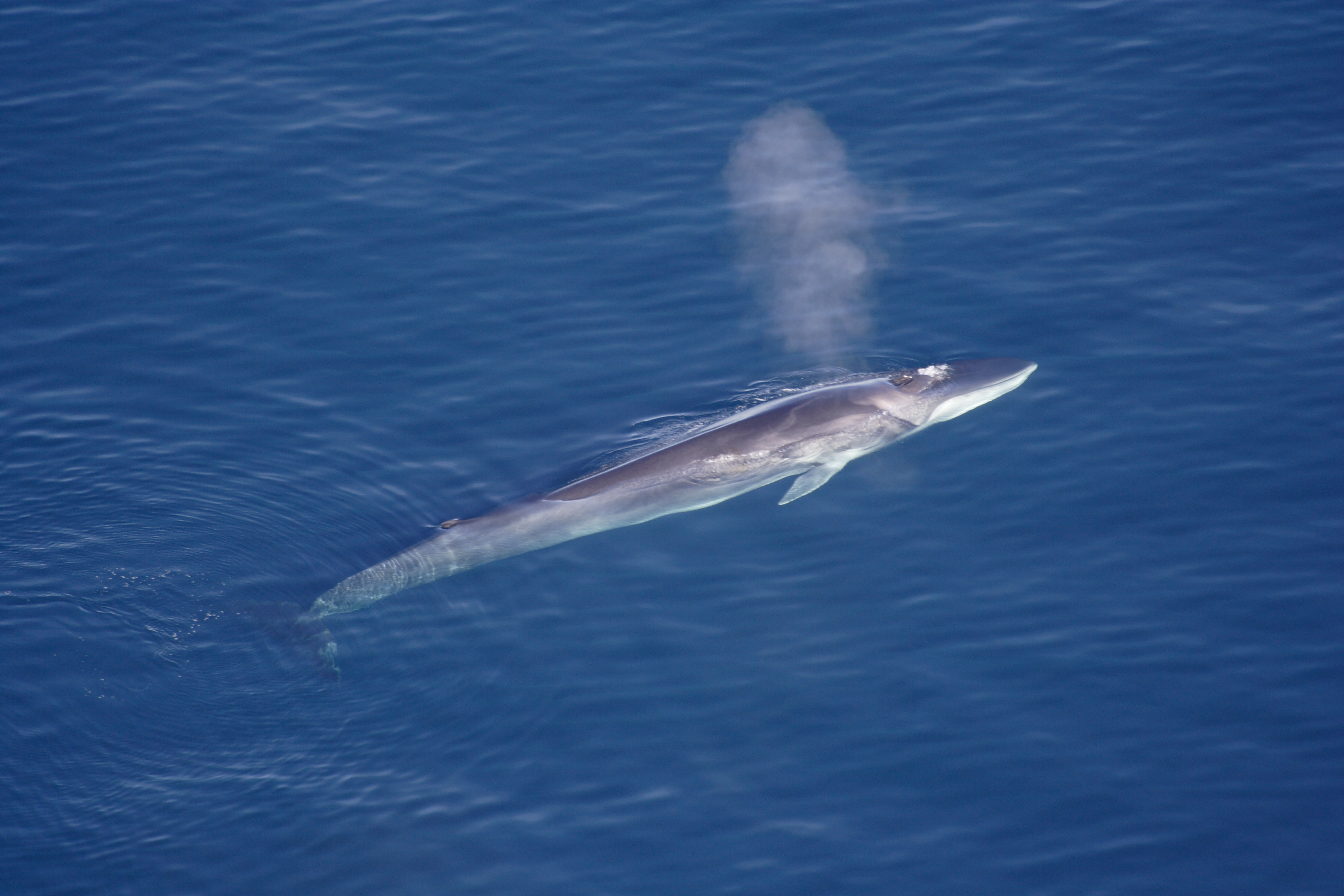 Fin Whale - Blow Hole Markings