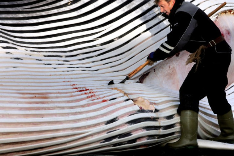 Fin Whale - Caught And Killed Iceland
